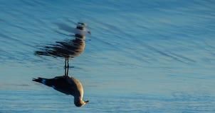 Seagull w odruchu przelotna woda fotografia stock