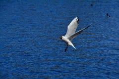 Seagull w Peterhof, St Petersburg, Rosja Obrazy Stock