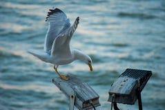Seagull w Porto zdjęcie stock