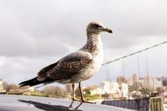 Seagull w Porto obrazy royalty free