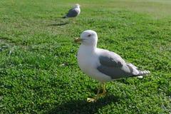 Seagull w przodzie skupiał się i inny jeden na plecy unfocused zdjęcia stock