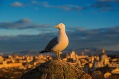Seagull w Rzym zdjęcie royalty free