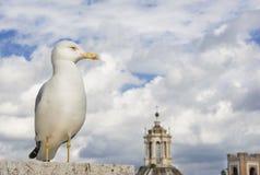 Seagull w Rzym obrazy royalty free