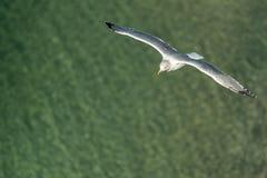 Seagull w Sorrento Włochy Zdjęcia Stock