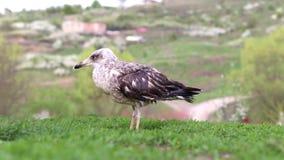 Seagull w trawie zdjęcie wideo