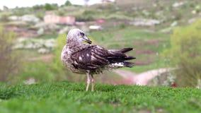 Seagull w trawie zbiory