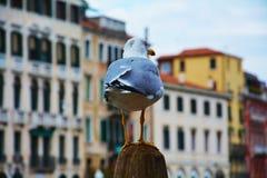 Seagull w Wenecja, w Włochy, Europa fotografia stock