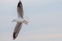 Seagull w świcie Obraz Royalty Free