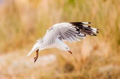 Seagull w świcie Zdjęcie Royalty Free