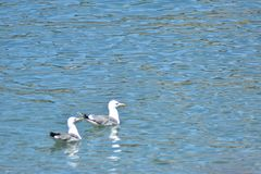 2 seagull w wodnym czekać na jedzeniu, jeziorny Geneva Szwajcaria zdjęcie stock