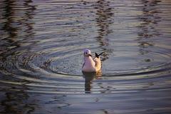 Seagull w wodzie fotografia stock