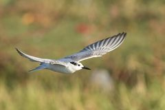 Seagull w złotym świetle zdjęcia stock