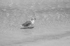 Seagull Wading in Shallow Water Stock Images
