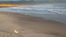 Seagull on Waihi stock footage