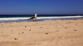 Seagull at the Pacific Ocean in Malibu. royalty free stock image