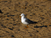 Seagull. Walk on the hot sand of the beach Royalty Free Stock Photo