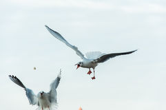 Seagull walka Zdjęcia Stock