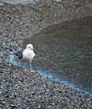Seagull walking Stock Photos