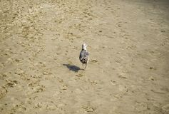 Seagull walking alone on the sand of the Venice Beach, Los Angeles, LA, California, CA Stock Image