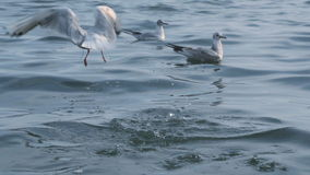 Seagull walking along a beach stock video footage