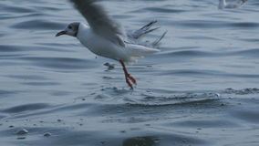 Seagull walking along a beach stock video