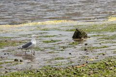 Seagull walking along kelp covered shoreline. Seagull walks along kelp and sand and water along the shoreline of the Puget Sound Royalty Free Stock Photos