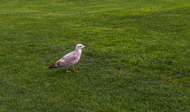 Seagull walking along the lush green grass, beautiful seaside bi Royalty Free Stock Photography