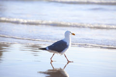 Seagull walking along ocean shore Royalty Free Stock Images