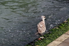 Seagull walking along the shore with algae in Venice Royalty Free Stock Photo