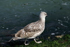 Seagull walking along the shore with algae in Venice Royalty Free Stock Image