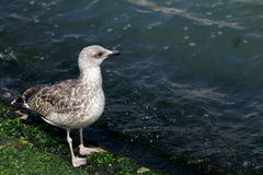 Seagull walking along the shore with algae in Venice Royalty Free Stock Photography