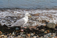 Seagull Walking Along the Shoreline. On pebble beach Royalty Free Stock Images