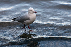 Seagull walking Stock Photo