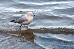 Seagull walking Royalty Free Stock Image