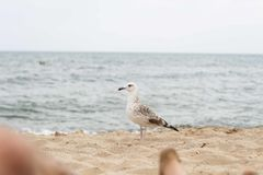 Seagull. A walking seagull on the beach Royalty Free Stock Photo