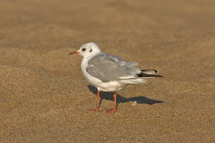 Seagull walking on the beach Royalty Free Stock Photos
