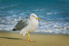 Seagull Walking by the Beach Stock Photos