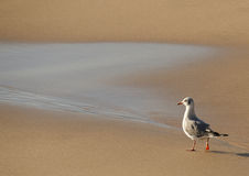Seagull walking on beach Royalty Free Stock Images