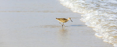 Seagull walking at the beach. With reflection in the water Stock Photography