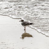 Seagull walking at the  beach. Seagull walking at the sandy beach Royalty Free Stock Image