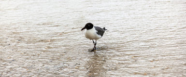 Seagull walking at the beach. Seagull walking at the sandy beach Royalty Free Stock Images