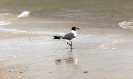Seagull walking at the  beach. Seagull walking at the sandy beach Royalty Free Stock Photography