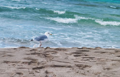 A seagull walking the beach Royalty Free Stock Photo
