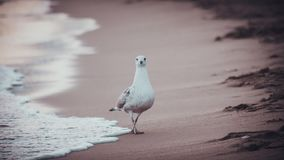 Seagull walking in cannes beach royalty free stock photography