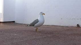 Seagull walking on concrete floor. Close up of seagull walking on the concrete floor outdoors slowly. Panning shot stock video