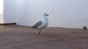 Seagull walking on concrete floor stock video