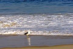 Seagull. Walking on the Devil beach border Royalty Free Stock Photos