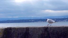 Seagull walking and eating on a wall. By the lake by cloudy weather stock video footage
