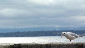 Seagull walking and eating on a wall. By the lake by cloudy weather stock footage