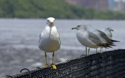 Seagull walking the fence Stock Image